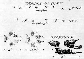 Red Fox Tracks