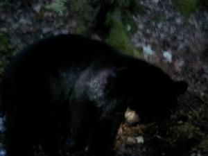 West Barnstable Bear Camera Phone Pic