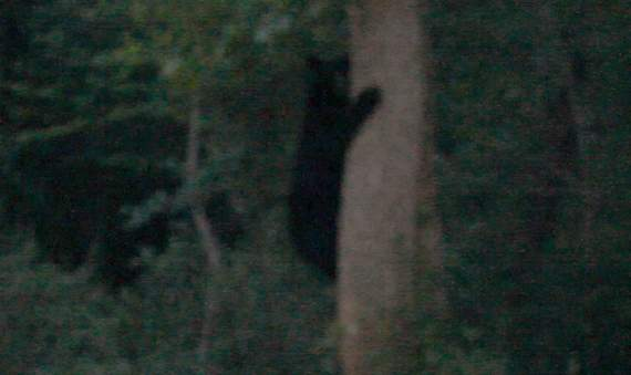 Black Bear in West Barnstable