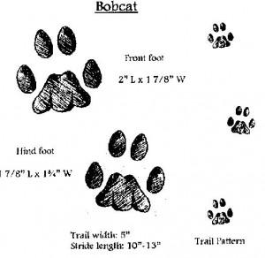bobcat-tracks