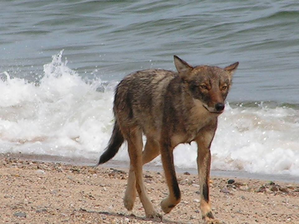 Cape Cod Coyotes vs. Wolves: What do we have here? | Cape Cod ...