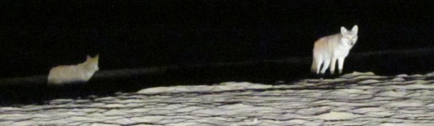 herring-cove-coyotes