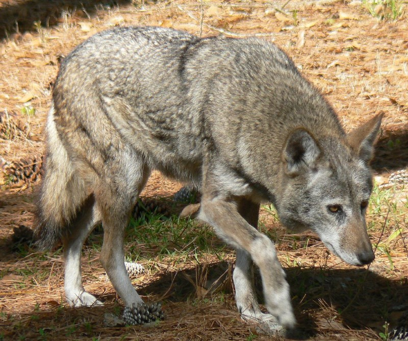 A Red Wolf in Georgia