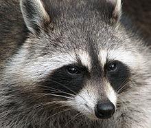 Calling Raccoons