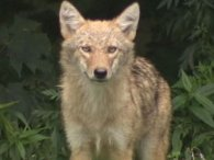 coyote-wareham