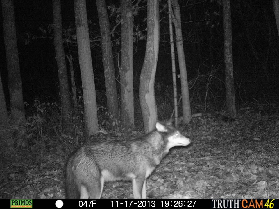 Coywolf Trail Camera Pic