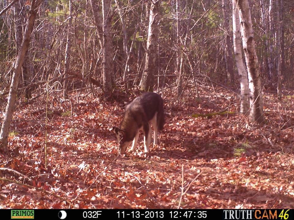 Trail Cam CoyWolf Duxbury, MA