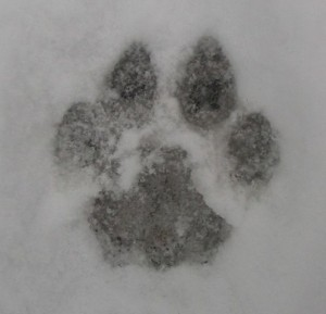 Cougar Track in Snow