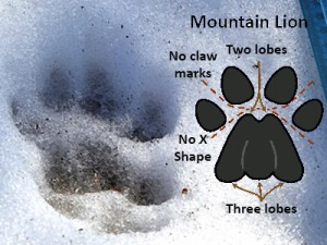 Mountain Lion Track Found in Winchester (via Winchester PD)