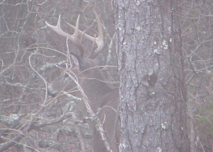 Whitetail-Buck