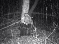 raccoon on trail camera