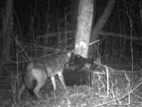 coyote_cam_1