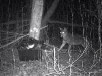 coyote_cam_3